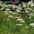 写真: 蝶が飛ぶねぎ畑!201409
