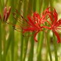 Photos: グリーンの中で咲く彼岸花!201409
