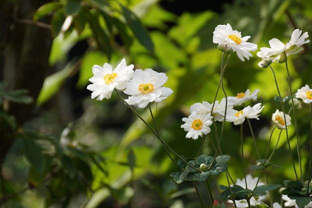 清楚な八重咲きの秋明菊の花、北鎌倉14!