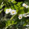 写真: 清楚な八重咲きの秋明菊の花、北鎌倉14!