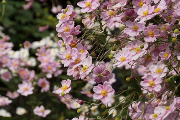 ピンクの秋明菊が枝垂れ咲く、東慶寺14!