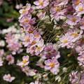 写真: ピンクの秋明菊が枝垂れ咲く、東慶寺14!