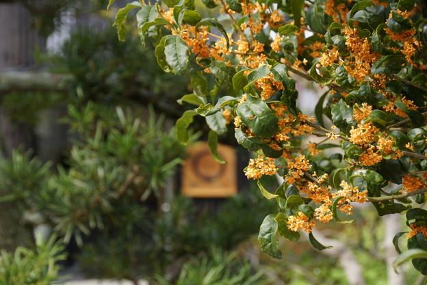 写真: 金木犀の芳香、東慶寺14!
