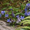 写真: リンドウの花が群れて咲く、鎌倉14!