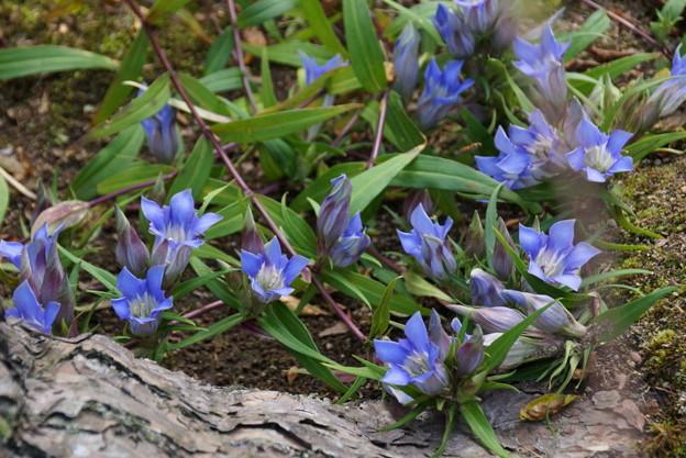 写真: リンドウの花咲く、海蔵寺14!