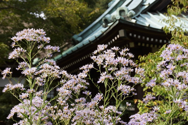 紫苑咲く、海蔵寺14!