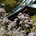 写真: 紫苑咲く、海蔵寺14!