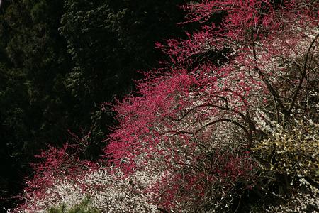 紅白の梅!(100314)