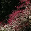 Photos: 紅白の梅!(100314)