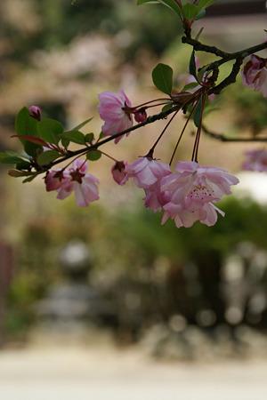 ピンクの海棠の花!(100411)