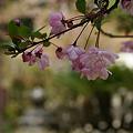 Photos: ピンクの海棠の花!(100411)
