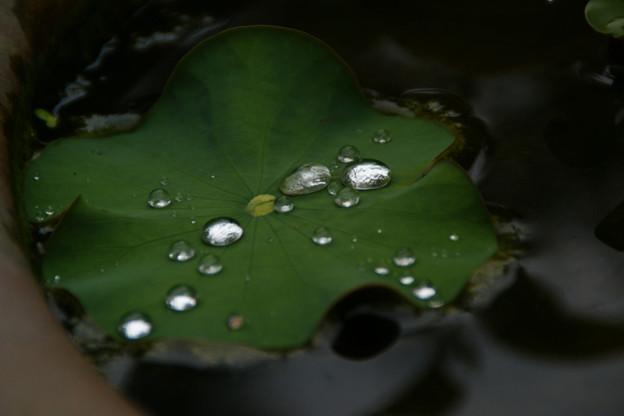Photos: 蓮の葉の水玉!(100529)
