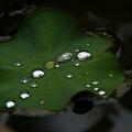 写真: 蓮の葉の水玉!(100529)