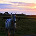 白馬と夕陽