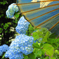 Photos: 番傘と紫陽花