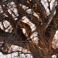 写真: 夕陽に輝く、木登りキタキツネ