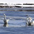 写真: 華麗なる白鳥