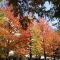 写真: みなとみらいの紅葉