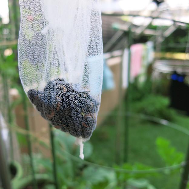 小玉スイカの種