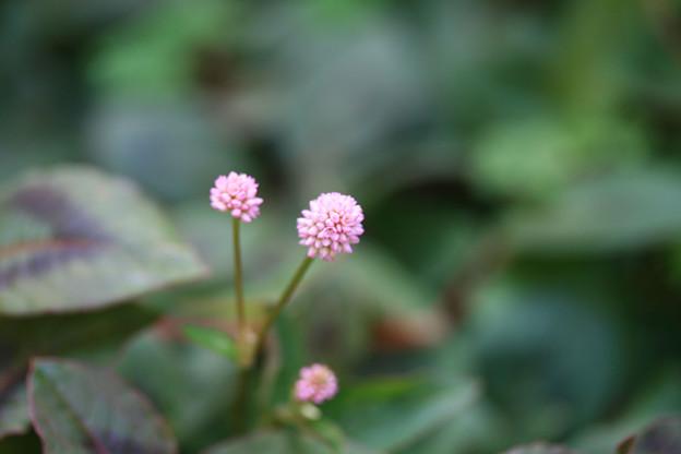 ポリゴナムが咲き始めた