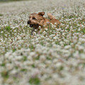 Photos: クローバー畑を遊泳中