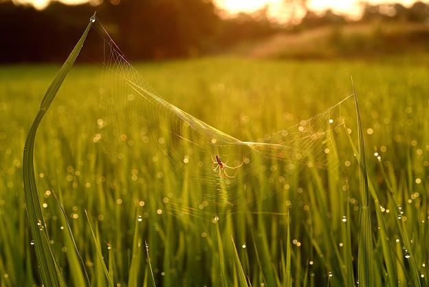 朝露+蜘蛛