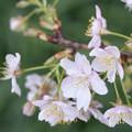 Photos: 姫リンゴ