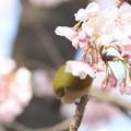 写真: 桜餅?