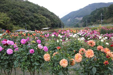 黒川ダリヤ園 - 038
