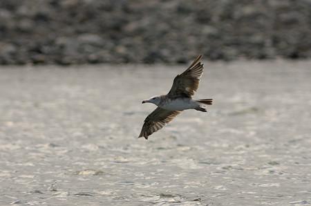 ウミネコの飛翔1