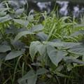 写真: 草の葉