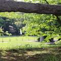 Photos: 葉桜