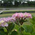 後楽園紫陽花