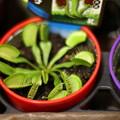 Photos: 食虫植物
