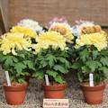 岡山大学の菊