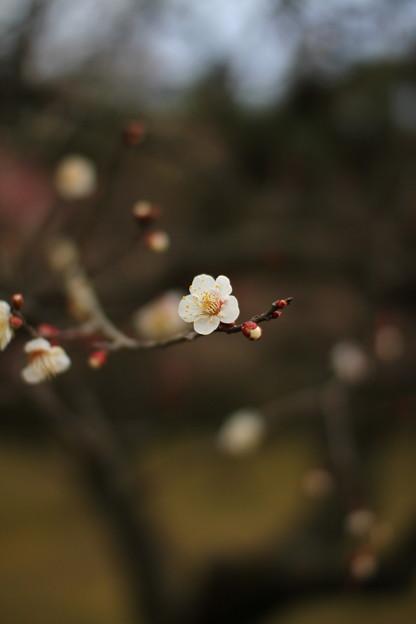 写真: 後楽園白梅