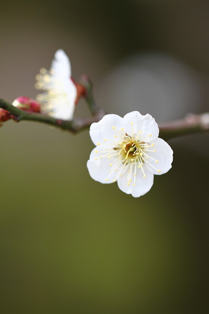 写真: 後楽園梅