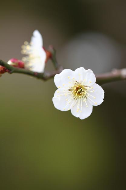 Photos: 後楽園梅