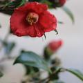 写真: 紅つばき