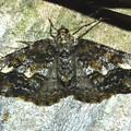ナカウスエダシャク 20120525