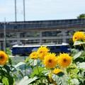 Photos: 向日葵と桃太郎