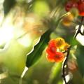 写真: 秋の陽のグミ