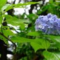 大暑の紫陽花