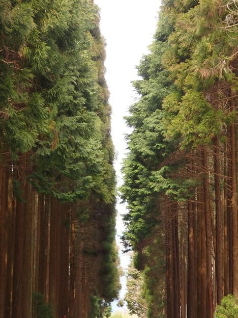 写真: 檜の道