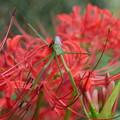 写真: 蟷螂と彼岸花