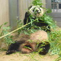 Photos: シンシン@パンダ 上野動物園