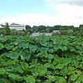 上野公園の不忍池「蓮」