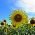 写真: 元気印-向日葵