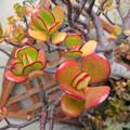 ベランダの春の風@金のなる木