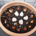 タリア鉢1108